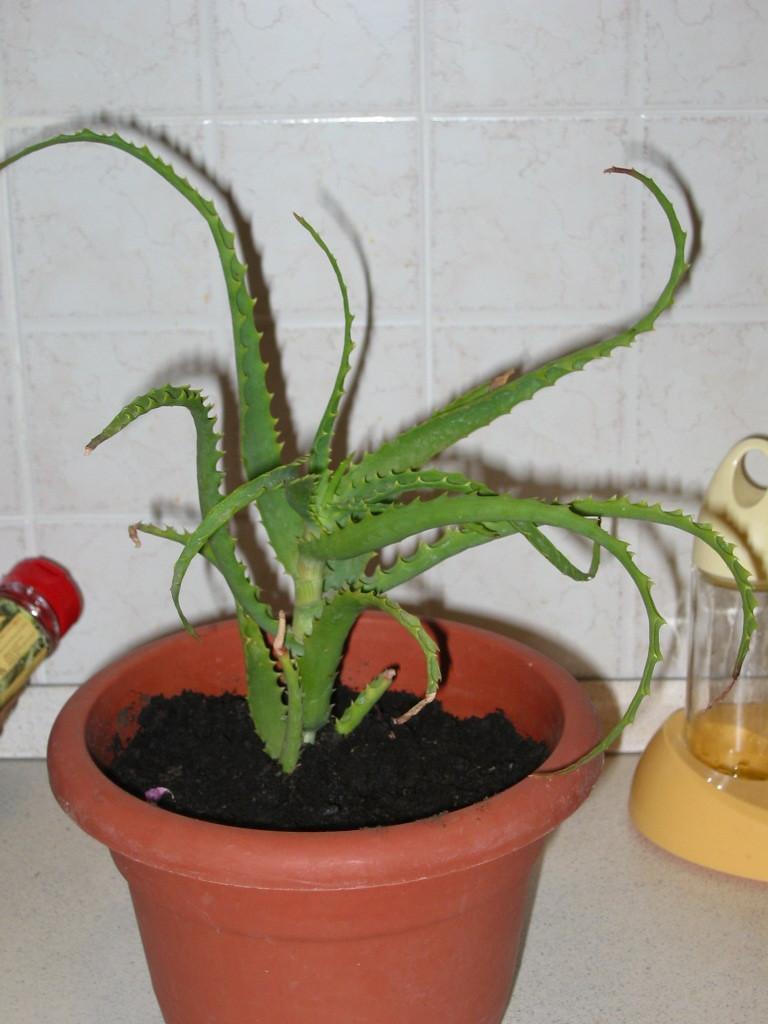 10 semi di aloe arborescens , piante succulente, piante grasse  eBay
